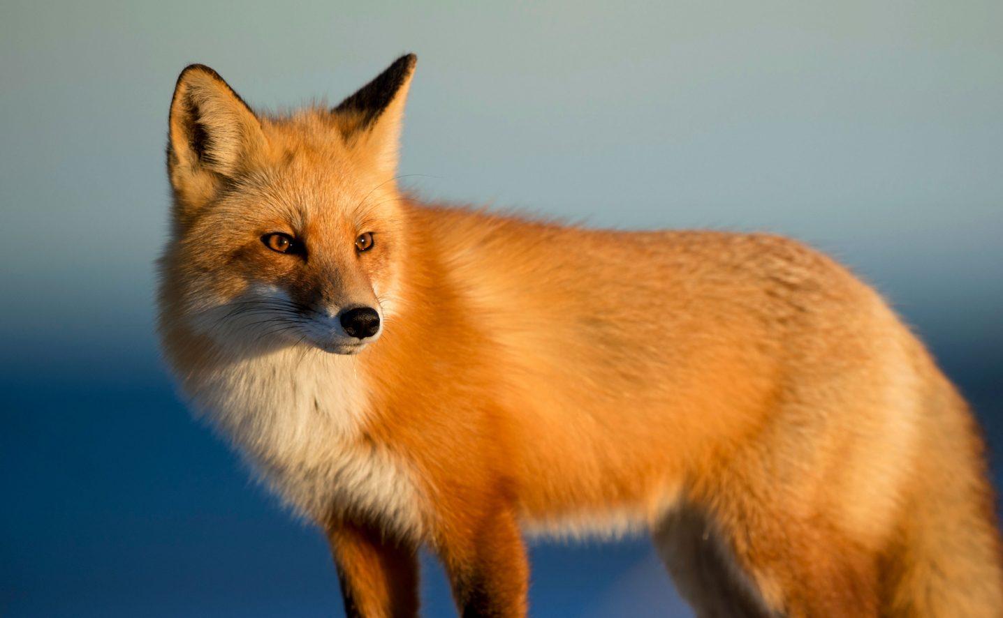 Brown-Vautier-brand-fox2